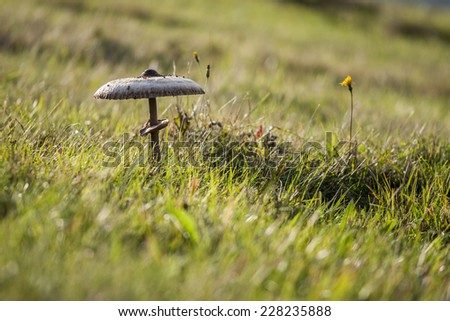 Parasol mushroom (Macrolepiota procera) a very sought after and popular edible fungus - stock photo