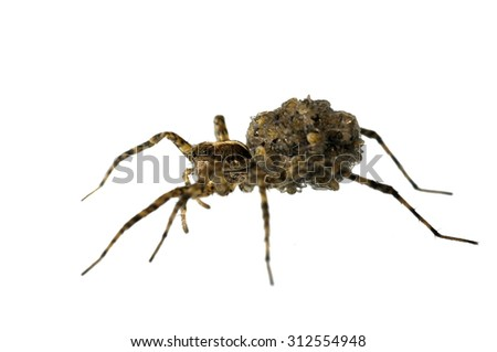Pardosa sp. wolf spider isolated on white. - stock photo