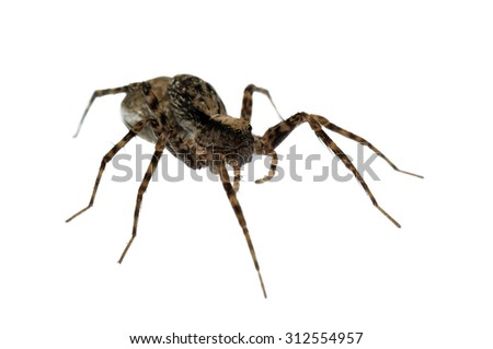 Pardosa wolf spider isolated on white.