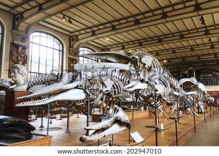 PARIS, FRANCE - MARCH 17 : Skeletons of whales in the National Museum of Natural History on March 17th, 2014 in Paris, France - stock photo