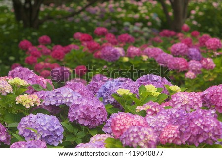 Park covered with colorful Hydrangea