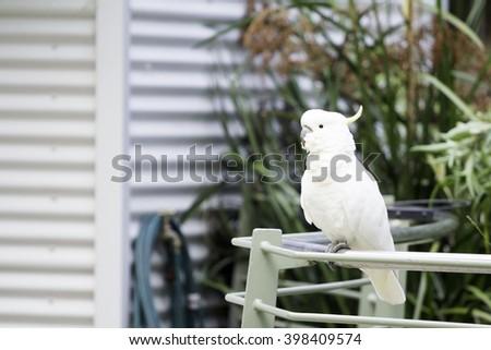 Park View parrot, parrot feeding, Sherbrooke Forest Park, Melbourne, Australia. - stock photo
