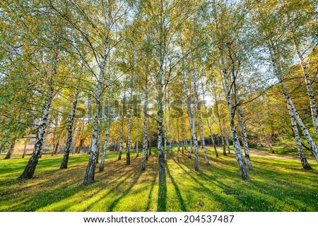 park with silver birch trees
