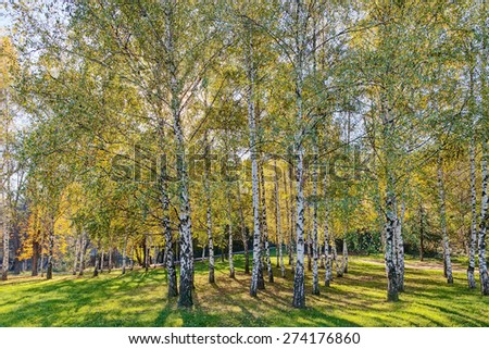 Park with silver birch trees and green grass - stock photo