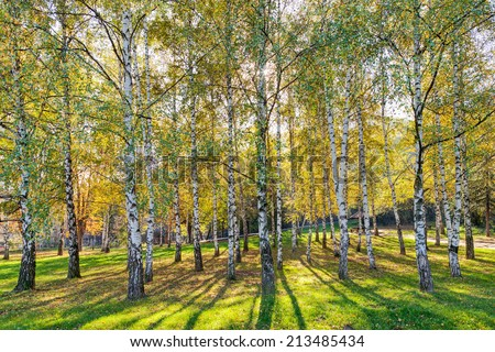 Park with silver birch trees with green grass - stock photo