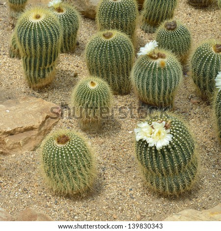 Parodia claviceps Spegazz., cactus grows in sand