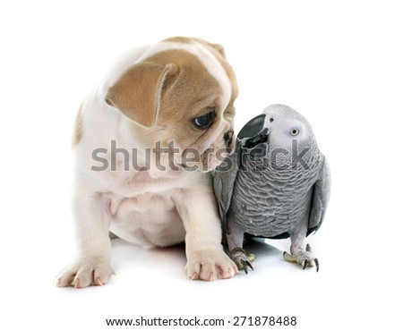parrot and puppy in front of white background - stock photo