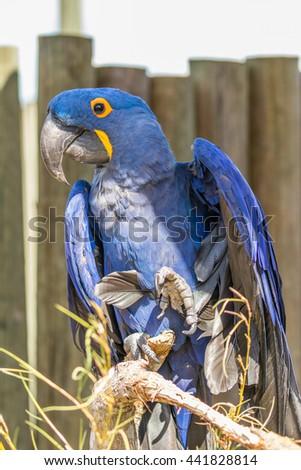 Parrot. Blue macaw sitting on the board. Macro photo. Portrait. Big beak. Multi-colored feathers. - stock photo