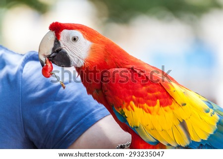 Parrot eating a red cherry