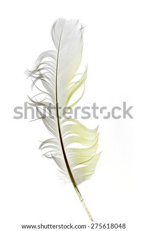 parrot feather isolated on white