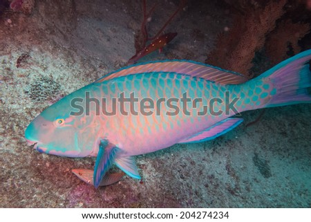 Parrot fish - stock photo