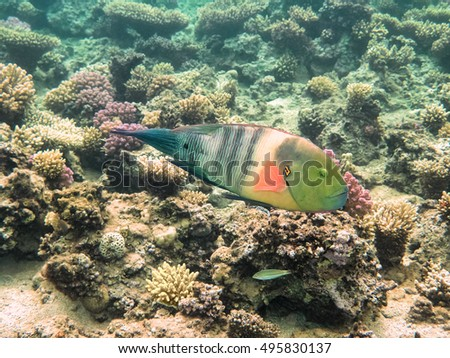 Parrot fish. Marine Life in the Red Sea. Egypt