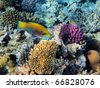 Parrot-fish on the coral reef in Red Sea, Egypt - stock photo