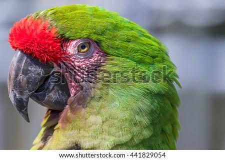 Parrot. Green macaw. Macro photo. Portrait. Big beak. - stock photo