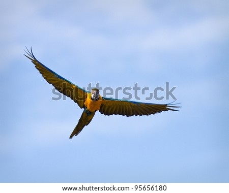 Parrot in captivity flying with blue sky as background - stock photo