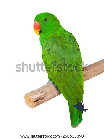 parrot isolated in white background - stock photo