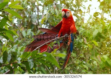Parrot Macaw - Ara ararauna in the rainforest perching on a branch, Ecuador - stock photo