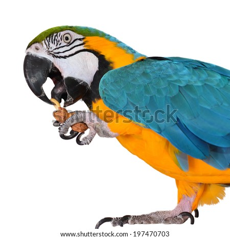 Parrot. Macaw eating isolated on white