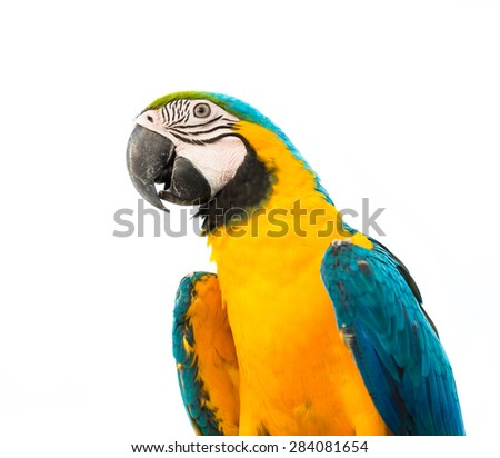 parrot macaw on white background