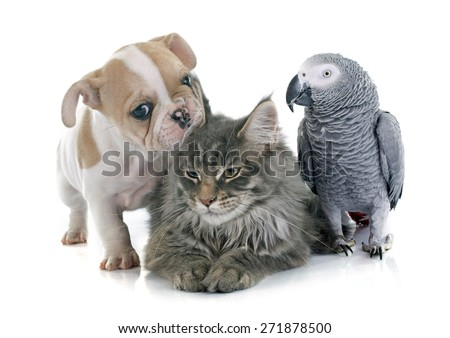 parrot, puppy and cat in front of white background - stock photo