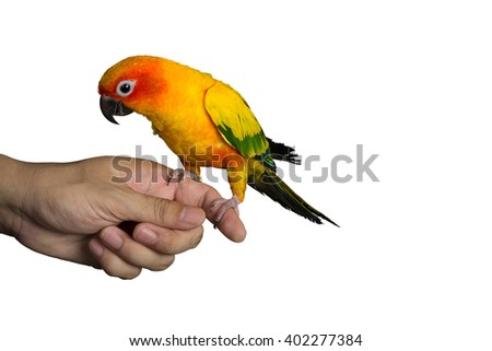 Parrot (sun conure) sitting on a hand isolated on white background