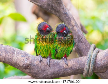 parrot twin - stock photo