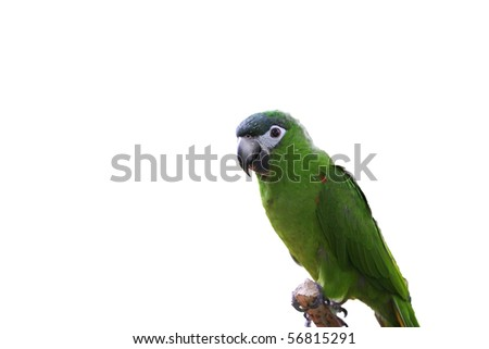 Parrot with green feathers isolated - stock photo