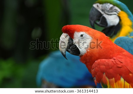 Parrot with Red and blue feather (Big Macaw)