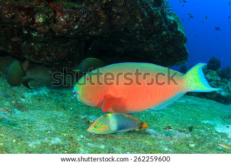 Parrotfish and Wrasse - stock photo