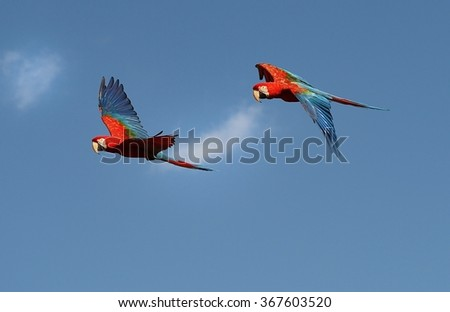 Parrots flying on the sky. - stock photo