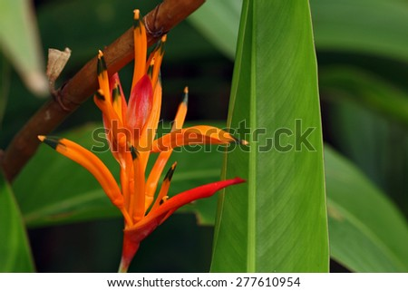Parrots Heliconia blooming (Heliconia psittacorum) - stock photo