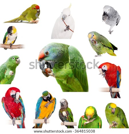 Parrots playing with paws, Isolated on white background - stock photo