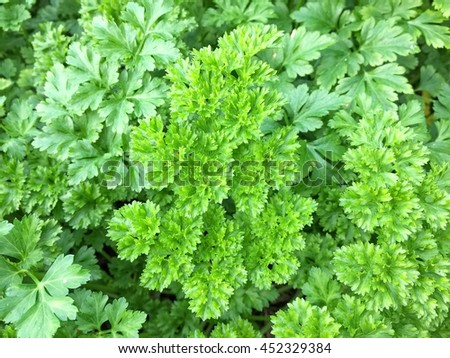 Parsley bush, leaves