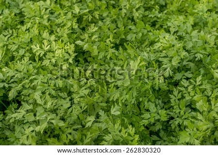 Parsley Fresh Green Field Crop Background - stock photo