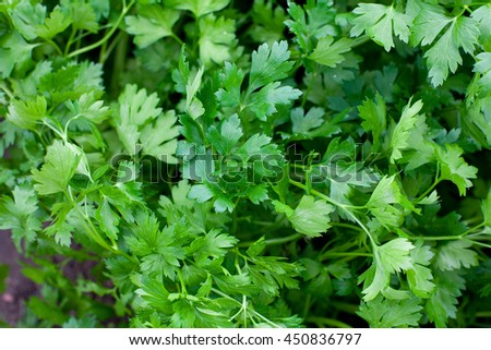 parsley growing