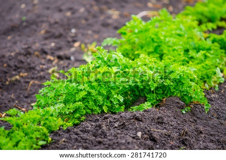 Parsley in a close view on dark fertile rich soil in a rural garden with a vibrant green fresh color suggesting natural agriculture - stock photo