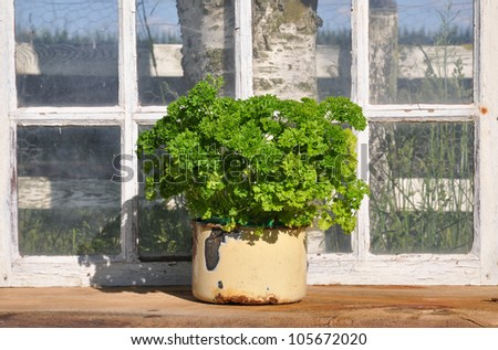 Parsley in a enamel pot in a homemade greenhouse. - stock photo
