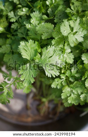 parsley leaves.