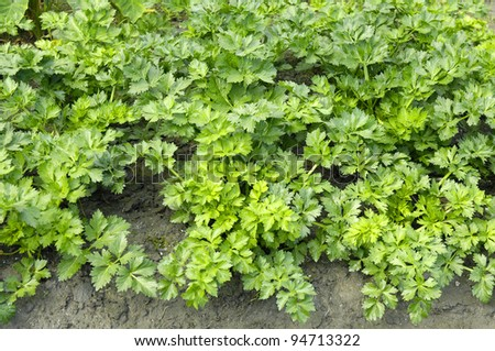Parsley on bed in vegetable garden - stock photo
