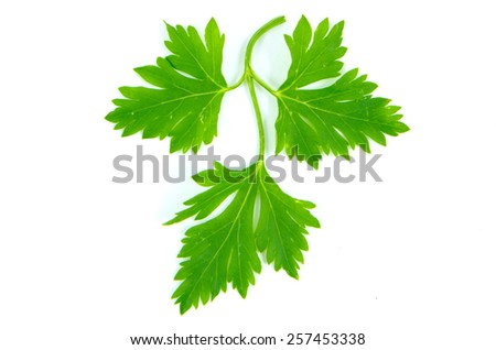 Parsley photographed on a white background