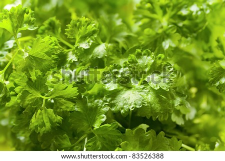 Parsley plant closeup