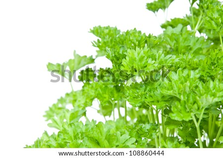 Parsley plant in a flowerpot isolated on white background - stock photo