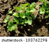 parsley seedlings after watering shallow dof - stock photo