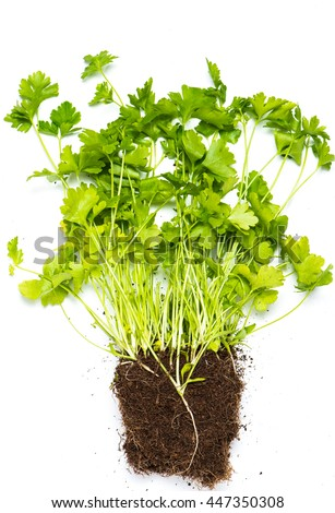 Parsley with roots on white background - stock photo