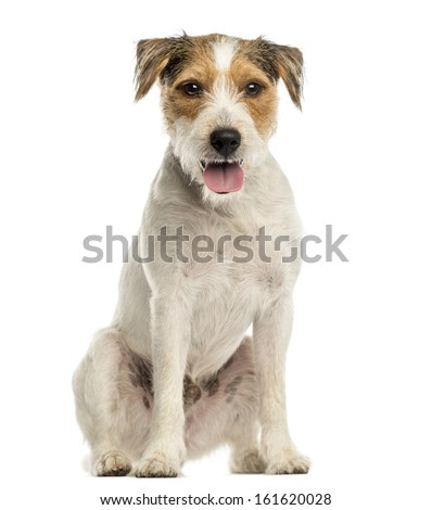 Parson russel terrier sitting, looking at the camera, panting, isolated on white