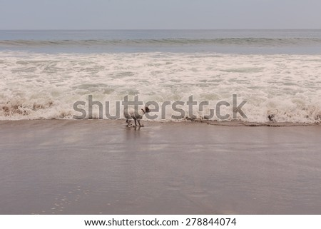 Parson Russell Terrier Dog Playing In Water, Pacific Ocean  - stock photo