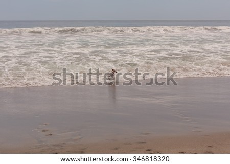 Parson Russell Terrier Dog Running At A Full Speed In The Pacific Ocean Waves - stock photo