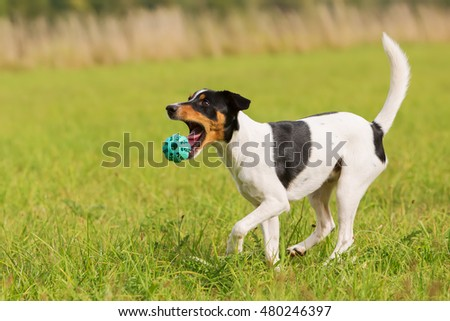 Parson Russell Terrier is playing with a ball