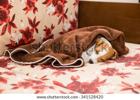 Parson Russell Terrier puppy on the couch sleeping with duvet - stock photo