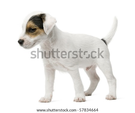 Parson Russell Terrier puppy standing in front of white background